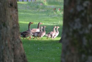 Goose Family-2 by Rea-the-squirrel