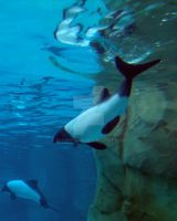 Commerson Dolphins by kfrosty008