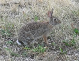 Wild Jack Rabbit Critter by Miss-Merlina