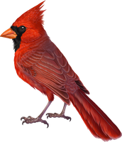 Commission - Cardinalidae by winternacht
