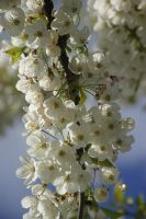 white blossom by cheah77