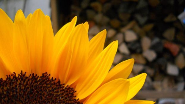 Sunflower by lexisphotography