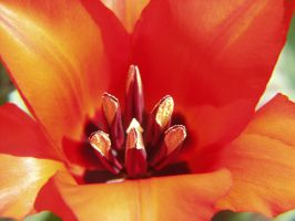 Tulip by vw1956stock
