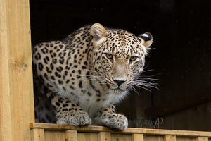 Persian leopard. by Ravenith