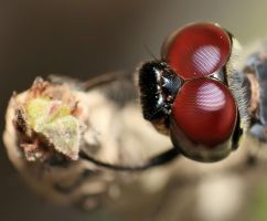 dragonfly eye by franzauruz182