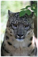 Cranky Snow Leopard by TVD-Photography