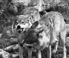 Wolves by MartinePersson