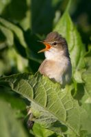 Marsh warbler by WildGepard