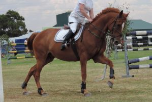 Chestnut Horse cantering under saddle Stock by Silverti