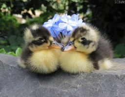 Black Swedish ducklings by kiwipics
