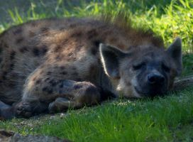 Spotted Hyena by TheInfernalDemon