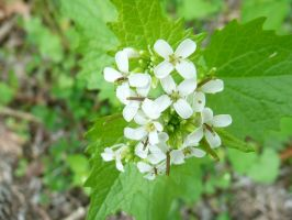 Little White Cluster of Wild Flowers by Maggiesdaisy