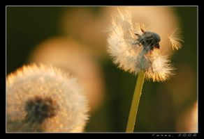 Dandelion part 1 by tomeq