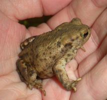Stock - Toad by rockgem