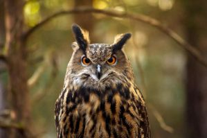 Eurasian Eagle Owl by BlueFlamedPhoenix