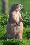 Prairie dog by priwax