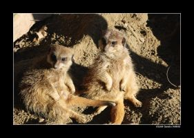 Meerkats by grugster