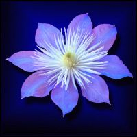 BLUE CLEMATIS by THOM-B-FOTO