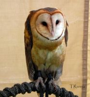 Barn Owl . by TRunna
