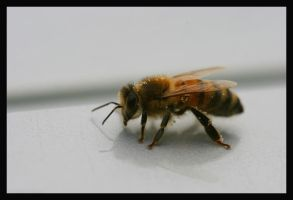 Lone Honeybee 2 by ambermac148