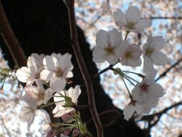 Cherry Blossoms by guardianangelz