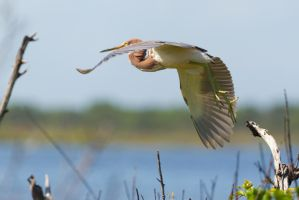 Tri Colored Heron Take Off by bovey-photo