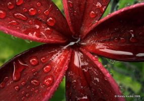 red plumeria by digitalabstract