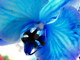 Blue Orchid by CookiemonsterSaku