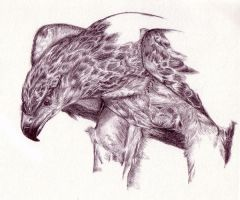 Martial Eagle by Segaia