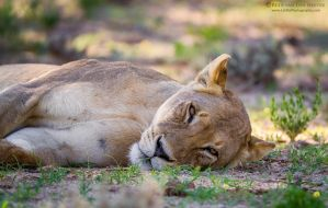 Lying down with a lioness by LinRuPhotography