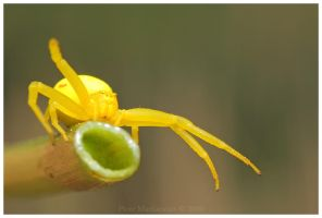 Misumena vatia by Soczi