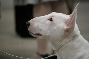 white miniature bull terrier by Bunnybunbunbunee
