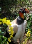 King Vulture by Tweetspie