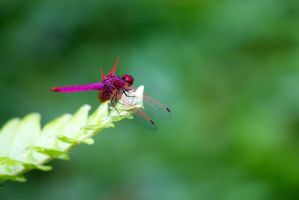Dragon Fly - Red - 20140803 - 00038 by TomFawls