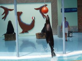 Sea Lion from St. Louis Zoo 7 by Seferia