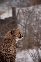 Cheeta by VisuallySpeaking