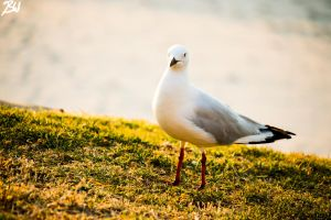 Seagull by donnybuy