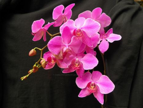 LIPSTICK PINK ORCHID by carolynthepilot