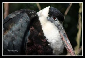 woolly-necked Stork indian by declaudi