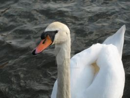 Swan by Spinneyhead