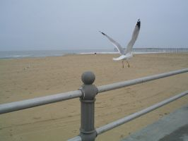 Seagull Going by vbcsgtscud