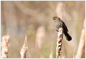 female red-winged blackbird by bad95killer