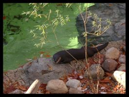 North American River Otter by nowherekid85