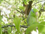 Parrotlet in the trees 2 by KickassConnor