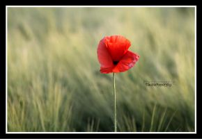poppy by declaudi
