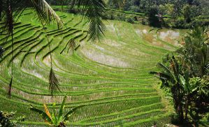 rice terraces bali 8 by worldpitou