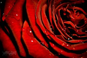 Red Rosebud by XavierSchneider
