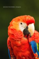 Scarlet Macaw by MichaelPuschinski