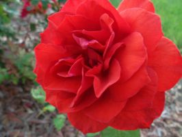 Red rose by blondechick27