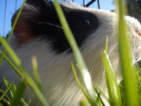 a guineapig And some grass by oo7ghost